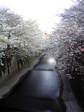 20080331_sakura03.jpg